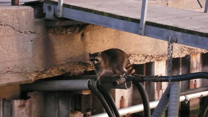 süßes Raccoon