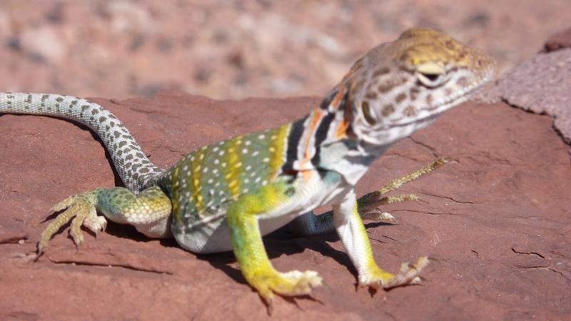 kleiner Dino-Gecko