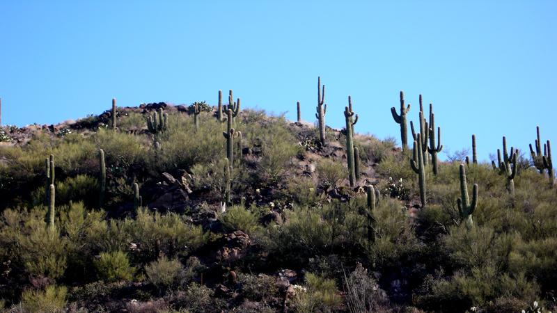 Saguaros Black Canyon City